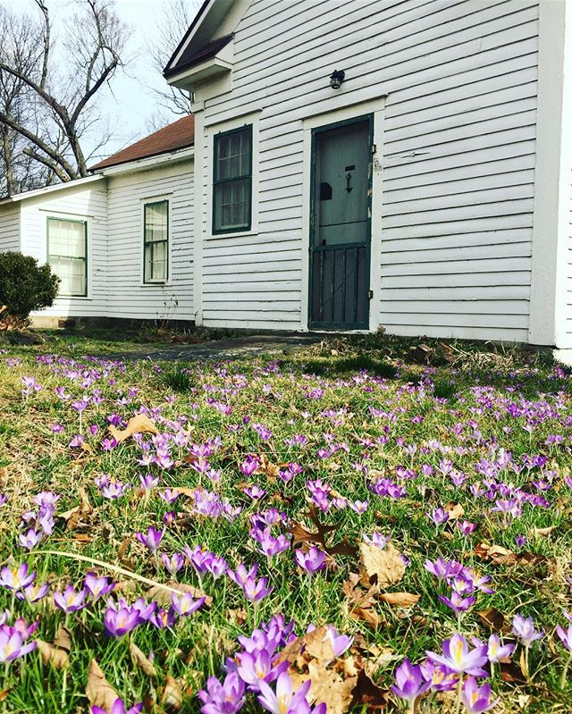 We're dreaming of warmer days and exploring the beautiful parks in Springdale! For now, enjoy this pretty photo taken just a week ago at the @shilohmuseum. Their purple crocus flowers always put on a beautiful show this time of year reminding us that spring is almost here! #teamspringdale